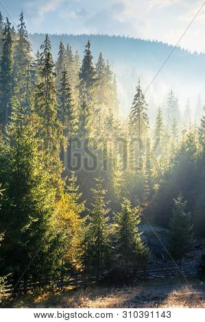 Foggy Sunrise In Spruce Forest. Beautiful Nature Scenery In Mountains. Sun Light Glowing In Hazy Atm