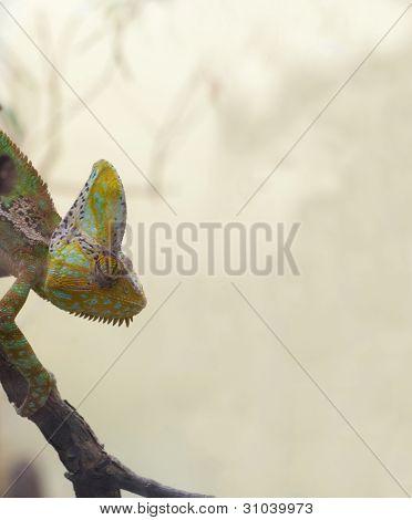 Chamaeleo Calyptratus - Veiled Chameleon