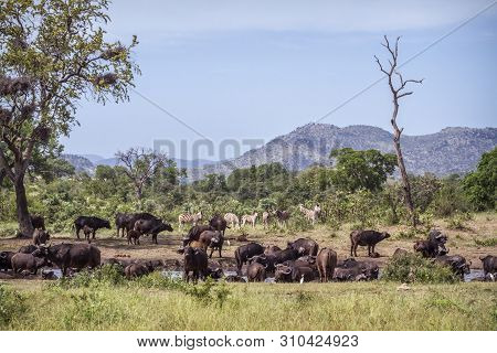 African Buffalo Herd And Zebras In Kruger National Park, South Africa ; Specie Syncerus Caffer Famil