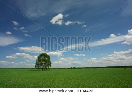 lonely birch