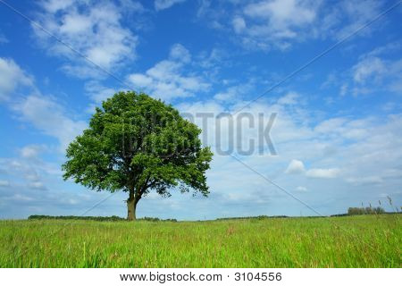 lonely oak in agricultural scenery in