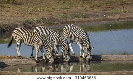 Three Plains Zebra Drinking In Waterhole In Kruger National Park, South Africa ; Specie Equus Quagga