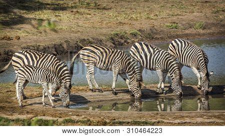 Five Plains Zebra In Kruger National Park, South Africa ; Specie Equus Quagga Burchellii Family Of E