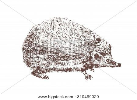 Adorable Hedgehog Hand Drawn With Contour Lines On White Background. Outline Drawing Of Omnivorous N