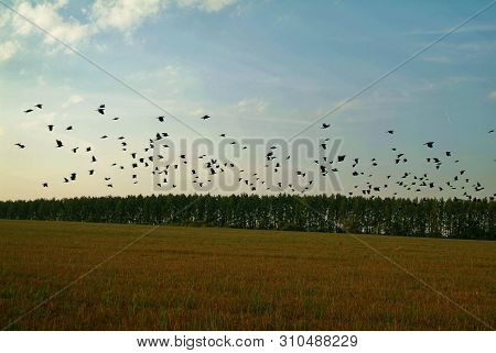 A Flock Of Rooks On A Sloping Field In Autumn, Russia