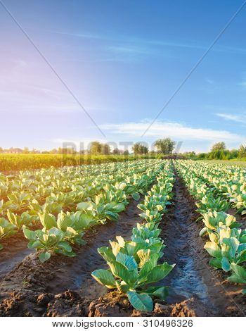 Natural Watering Of Agricultural Crops, Irrigation. Cabbage Plantations Grow In The Field. Vegetable
