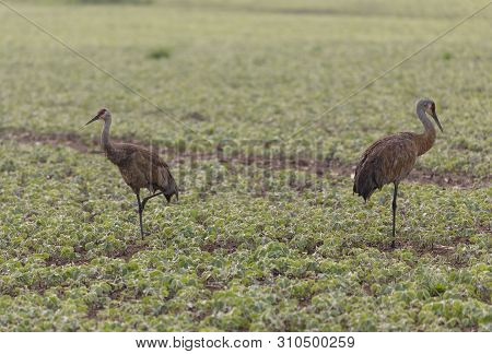 The sandhill crane (Antigone canadensis) in natural environment poster