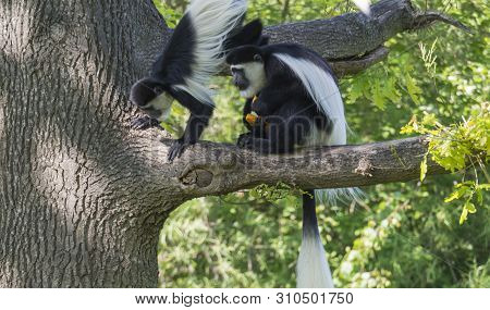 Couple Of Young Mantled Guereza Monkey Also Named Colobus Guereza Eating Fruits Sitting On Tree Bran