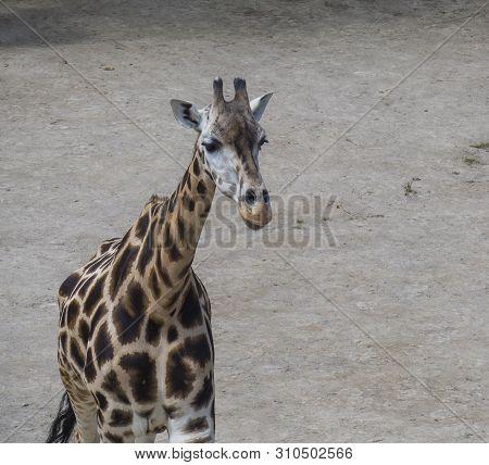 Close Up Portrait Of Giraffa Camelopardalis Camelopardalis Linnaeus, Frontal View, Dirt Background