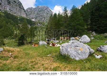 Farm Cows Graze On The Green Slopes Of The Mountains.  The Concept Of Ecological And Photo Tourism