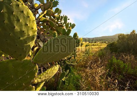 Prickly Pear Cactus. Landscape Of Sardinia Italy