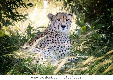 Adult cheetah, Acinonyx jubatus, takes shade from the heat of the day. Masai Mara, Kenya. This big cat is considered vulnerable and the population is decreasing.