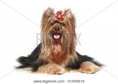 Yorkshire terrier with red bow lying on a white background poster