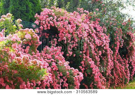 Romantic Rose Valley. Aromatic Rose Flowers On Beautiful Bush In Country Cottage Garden.
