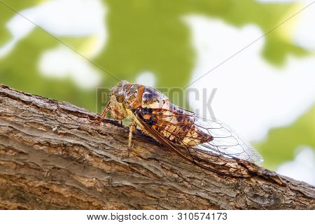 Cicadidae Insect. Singing Cicada. Cicadoidea Insect. Eukaryota Animalia Arthropoda Tracheata Hexapod