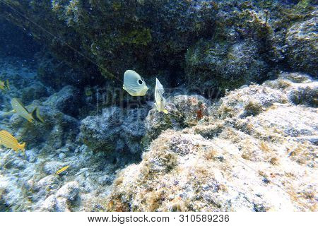 Chaetodon Capistratus, Or Foureye Butterflyfish Is A Butterflyfish. It Is Alternatively Called The F