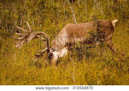 Caribou With Huge Antlers In Pasture In Kenai, Alaska