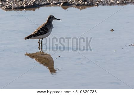Immovable Bird In A Flooded Rice Field Of Albufera Natural Park, Valencia, Spain. Perfect Reflection