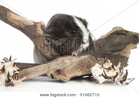 Guinea Pig On White In Studio