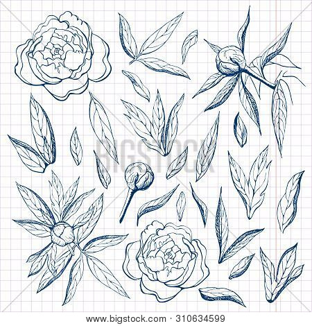 Ink Free Hand Drawn Peonies Collection. Pencil Sketch Of Flower And Leaves On Sheet Of Paper. Flower