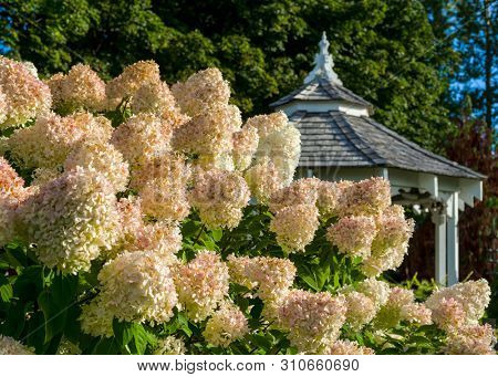 A large peegee hydrangea (Hydrangea paniculata 'Grandiflora') in the foreground with a gazebo in the background.