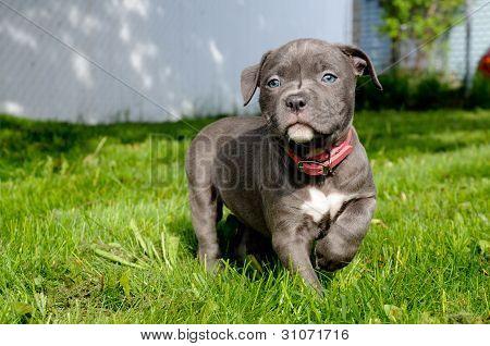 puppy dog pit bull bully