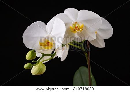 White orchid flowers. A beautifully blossomed flower bred in home conditions. Dark background. poster