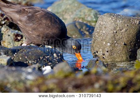 Black Oystercatcher Probes For Shellfish In A Tide Pool Near Clover Point, Vancouver Island, British