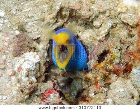 Closeup And Macro Shot Of Blue Ribbon Eel During A Leisure Dive In Mabul Island, Semporna. Tawau, Sa