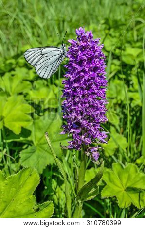 White Butterfly Aporia Crataegi On Purple Dactylorhiza Majalis Flower, Also Known As Western Marsh O