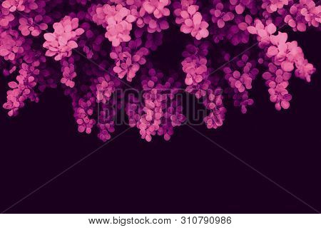 Pink Neon Leaves Of A Plant On A Dark Background. Ecology, Wild Life And Gardening. Selective Focus,