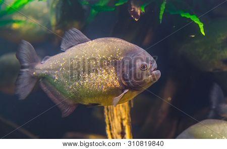 Closeup Portrait Of A Red Bellied Piranha, Popular Ornamental Aquarium Pet With Golden Shiny Scales,