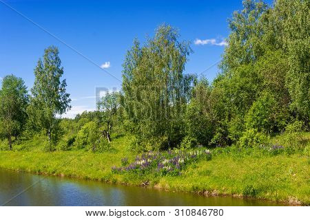 Beautiful Bank Of A Small River With Bright White And Purple Lupine Flowers.