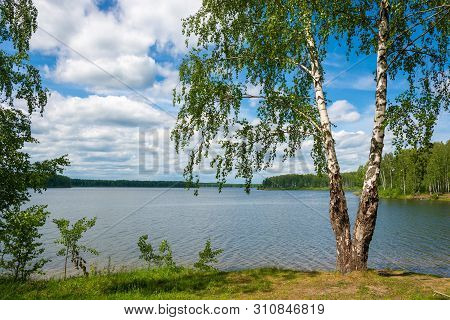 A Large Birch With A Double Trunk On The Bank Of The River Uvod On A Summer Day, Ivanovo Region, Rus