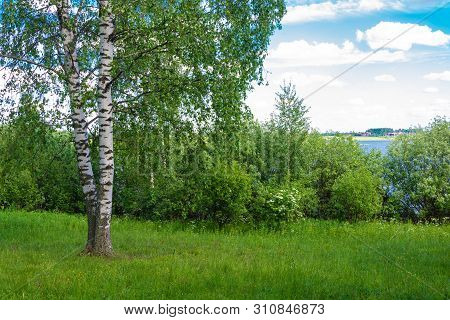 Two Birches And A Dense Bush On The Bank Of The River On A Summer Day.