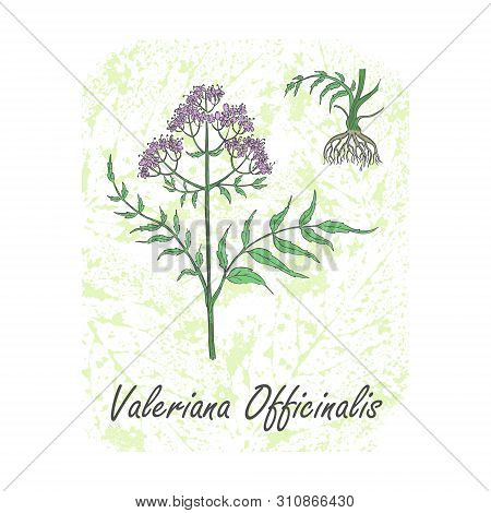 Colored Herbal Plant Valerian On The Textured Substrate Made As Rounded Rectangle. Thin Paper Substr