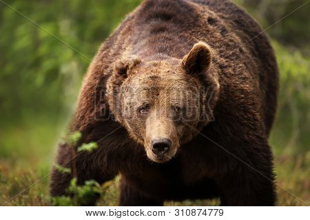 Close-up Of A Huge European Brown Bear (ursos Arctos) Male In Boreal Forest, Finland.