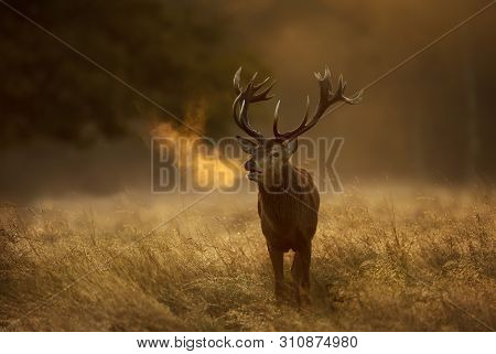 Close Up Of A Red Deer (cervus Elaphus) Stag During Rutting Season With Breath Condensing At Dawn, U