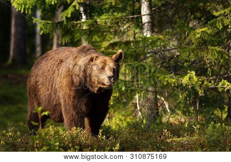 Close-up Of European Brown Bear (ursos Arctos) With One Ear In Boreal Forest, Finland.