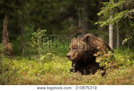 Close-up Of A Male European Brown Bear (ursos Arctos) Lying In Boreal Forest, Finland.
