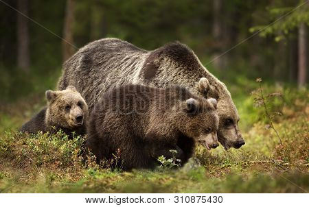 Close Up Of Female Eurasian Brown Bear (ursos Arctos) And Her Cubs In Boreal Forest, Finland.