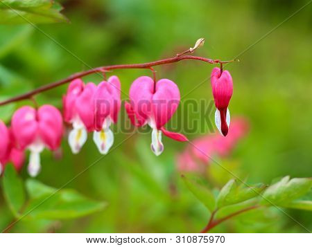 Branch Of Dicentra Spectabilis Flowers
