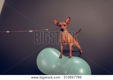 Close Up Of Cute Little Brown Dog Standing On Fitness Ball