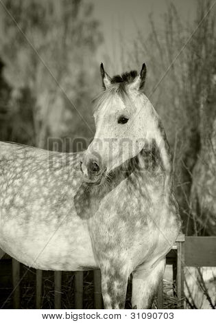 gray arabian horse in black and white tones poster