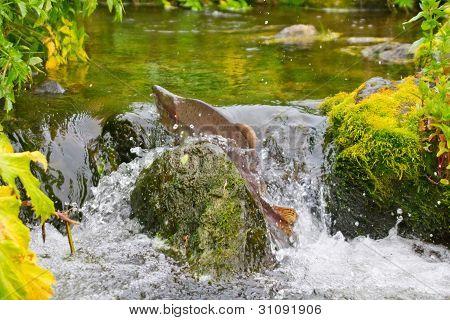 Fighting males of humpback salmon