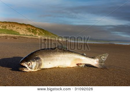 the Silver salmon cast ashore by surge of ocean
