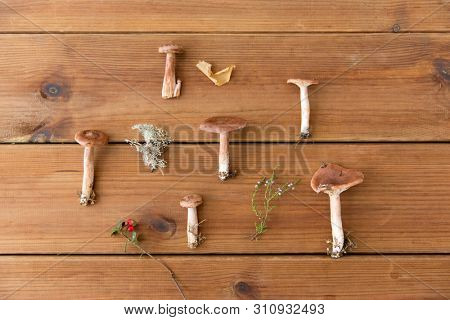 nature and environment concept - lactarius rufus mushrooms on wooden background