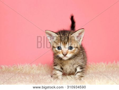 Adorable Tiny Kitten Few Weeks Old Standing On Sheepskin Blanket Facing And Looking At Viewer, Tail