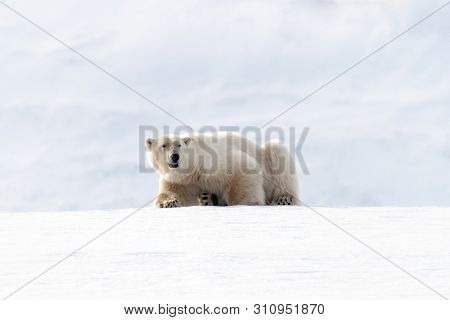 Adult male polar bear resting on the snow and ice of Svalbard, a Norwegian archipelago between mainland Norway and the North Pole
