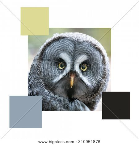 Closeup of the face of a great grey owl, set with colour swatches and space for text. Colour scheme themed image.